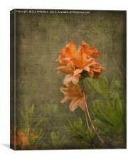 Azalea, Canvas Print