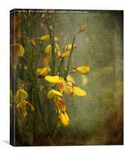 Beautiful Broom, Canvas Print