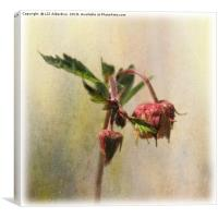 Water Avens, Canvas Print