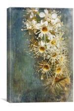 Cherry Laurel Flowers, Canvas Print
