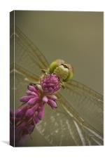 Common Darter Dragonfly, Canvas Print