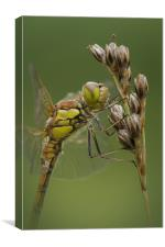 Male Common Darter, Canvas Print