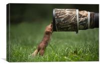 Red Squirrel inspecting a camera lens., Canvas Print