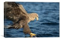 White-tailed Eagle Hunting, Canvas Print