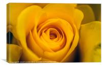 A Yellow Rose Closeup, Canvas Print