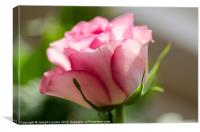 Delicate Pink Rose, Canvas Print