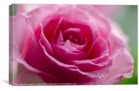 A Wet Pink Rose Closeup, Canvas Print