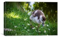 Egyptian Goose Chick, Canvas Print