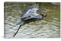 Heron Takes Flight, Canvas Print