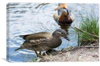 A Pair Of Mandarin Ducks, Canvas Print