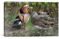Male & Female Mandarin Ducks, Canvas Print