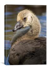 Goose Chick Portrait, Canvas Print
