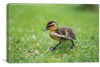 A Mallard Chick, Canvas Print