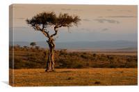 Desert Date tree at sunset, Canvas Print