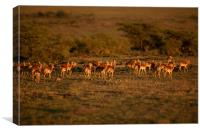 Impala at sunset, Canvas Print