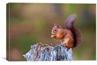 Red Squirrel (Sciurus vulgaris), Canvas Print