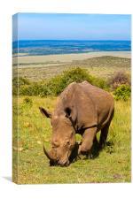 Young White Rhino, Canvas Print