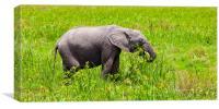Baby African Elephant, Canvas Print