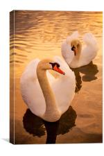 Swans at Sunset, Canvas Print