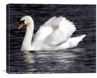 White Swan Black Water, Canvas Print