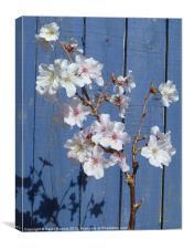 Spring cherry blossom on blue, Canvas Print