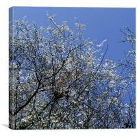 May Tree Blossom, Canvas Print