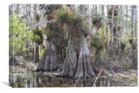 Bald Cypress Trees, Canvas Print