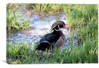 American Wood Duck, Canvas Print