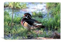 Wood Duck 2, Canvas Print