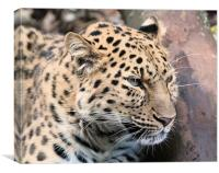Amur Leopard Thinking, Canvas Print