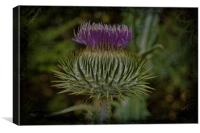Flower Of Scotland, Canvas Print