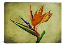 Bird Of Paradise, Canvas Print