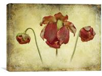 Sarracenia leucophylla Flower, Canvas Print