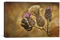 Buff Tail On Knapweed, Canvas Print