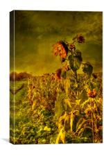 Fading Sunflowers, Canvas Print