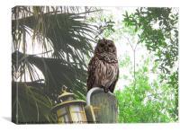 Barred Owl, Canvas Print