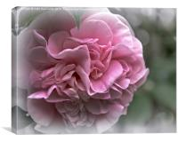 Soft Pink Camellia, Canvas Print