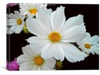 White Cosmos, Canvas Print