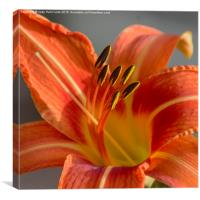 Tiger Lily, Canvas Print