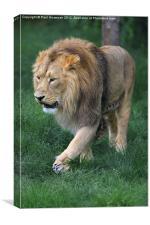 Lion, Canvas Print