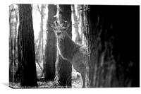 Young Stag, Canvas Print