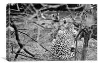 Pair of Cheetahs, Canvas Print