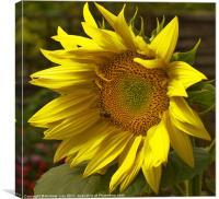 Sunny Sunflower, Canvas Print