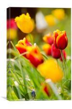 Tulip Garden, Canvas Print