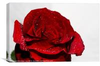Red Rose and water drops, Canvas Print