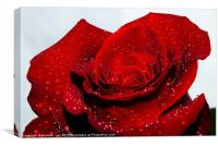 Water drops on red rose, Canvas Print
