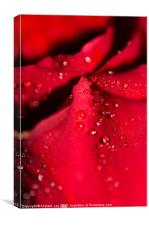 Water on Red Rose petal, Canvas Print