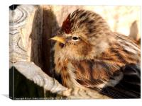 redpole chick, Canvas Print