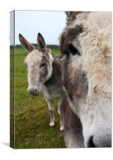 Donkeys, Canvas Print
