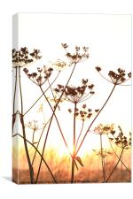 Cow Parsley (Keck) at Sunset., Canvas Print